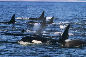 This image was taken from http://www.kayakingtours.com/orca-tours/kayaking-killer-whales.htm